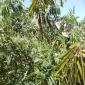 山毛豆种子 护坡灌木种子批发
