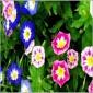 观花植物种子 花卉种子 草花种子 三色旋花种子 芳香花卉种子