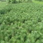 油松种子多少钱 绿中丰 灌木种子齐全 油松种子规格齐全