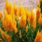 销售火焰鸡冠花种子 花之源种业 火焰鸡冠花种子批发 花海种子批发 草花种子批发 量大可上门种