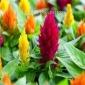 进口火焰鸡冠花种子 花之源种业 花海种子批发 草花种子批发 量大可上门种