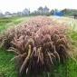 观赏狼尾草种子批发 花之源种业