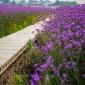 常年销售台湾柳叶马鞭草种子美丽乡村花海打造种子批发 草花种子
