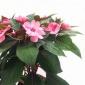 批发非洲凤仙花种子 锦上 草花种子批发 种子纯净度在99%