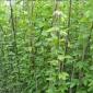 油麻藤种子-花海种业-油麻藤种子批发-油麻藤种子价格-护坡灌木种子批发-物美价优-量大可到付