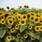 观赏向日葵种子 锦上  草花种子批发 量大可上门播种