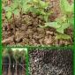 育苗播种红由香椿种子批发价格提供种植技术