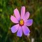 格桑花种子-花海种业-草花种子批发-格桑花种子-专注花海打造