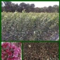 育苗播种香椿种子批发价格出芽率高