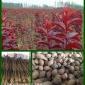 育苗播种鹅耳�兄肿优�发价格提供种植技术