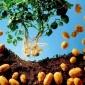 高产脱毒土豆种子价格