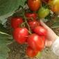 小西红柿苗 红罗曼番茄种子 番茄苗 西红柿苗 蔬菜种苗基地