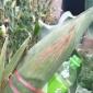 铁杆大棒玉米种子高产玉米新品种承科一号