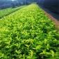 现货供应 东北连翘小苗 耐寒灌木树种 东北连翘树苗 当年籽播繁育种苗