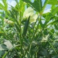爱木耐低温秋葵种子_奈星一本秋葵种子_14cm秋葵种子厂家零售